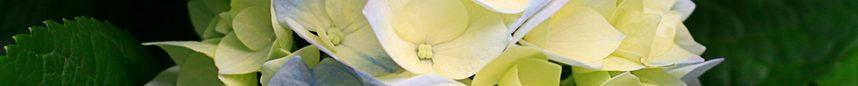 cropped-Hydrangeas