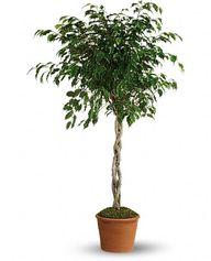 Schefflera Braided Plant