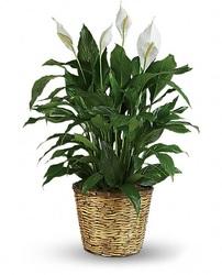 Rich Peace lily Plant