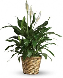 Regular Peace lily Plant